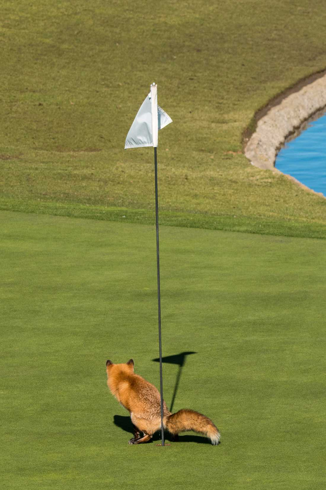 RÄV DROG RÖVARE PÅ GREEN Många är väl de som försökt sig på en rövare på greenen. En som tydligt visar var hen tycker om sporten är den här räven, som helt sonika klubbar i ett av hålen på en golfbana i San José i Kalifornien. Fotografen Douglas Croft förevigade ögonblicket.