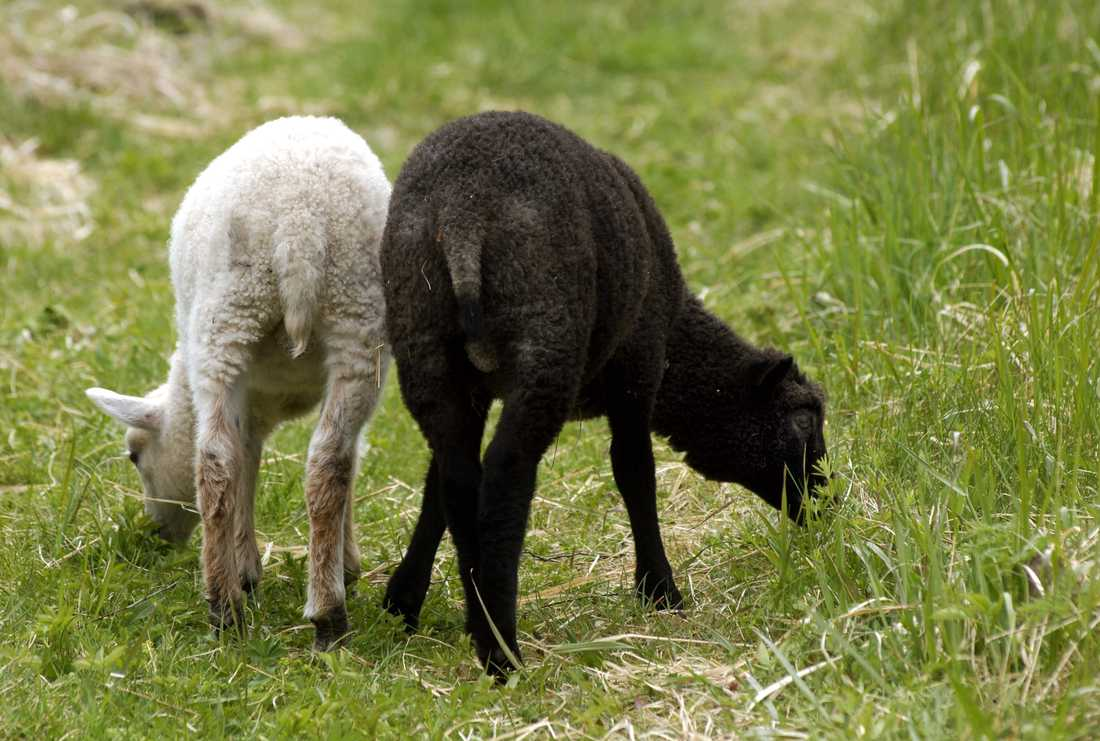 Länsstyrelsernas betesförmedlingar bildades för att de som har marker som håller på att växa igen ska kunna paras ihop med djurägare som behöver bete. Arkivbild.
