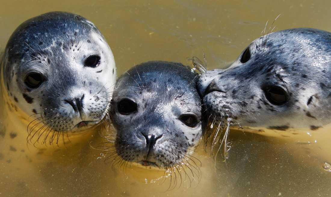 Knubbsälen är Bohusläns landskapsdjur. De har haft det tufft då de från och till har drabbats av valpsjukevirus.