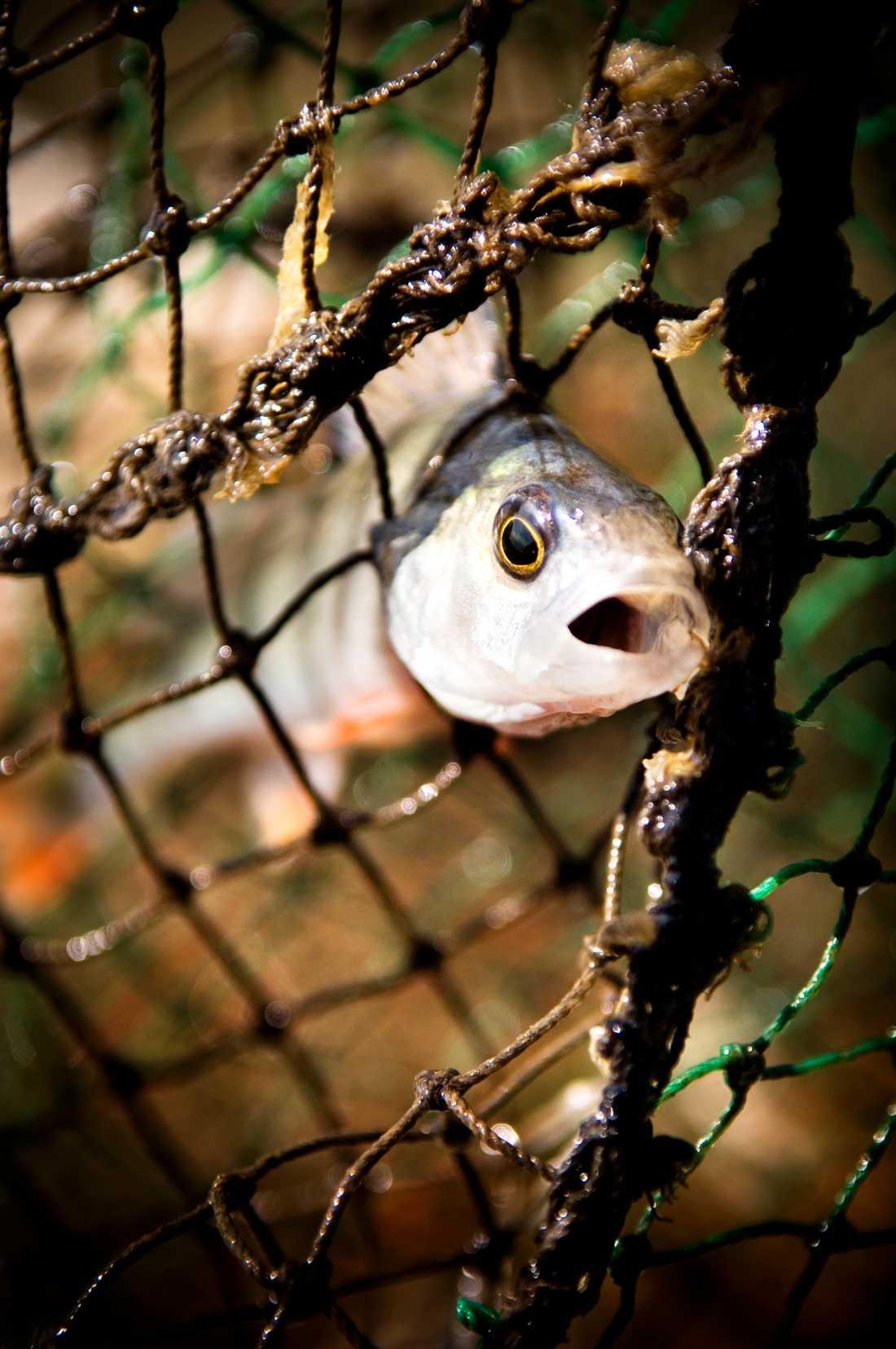 Från 1 september i år begränsas möjligheten att fiska med nät på vatten grundare än tre meter längs ostkusten i bland annat Gävleborg.