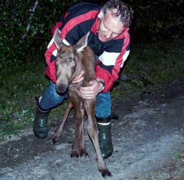 FÖLJDE MED HEM Arve Melby fick sällskap av en älgkalv när han var ute på promenad i våras. Till slut lyckades han jaga älgen till skogs. Nu är kalven skjuten - av Arves egen son.