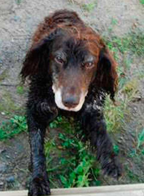 Familjens hund, Tajson, bets ihjäl av den ena vargen.