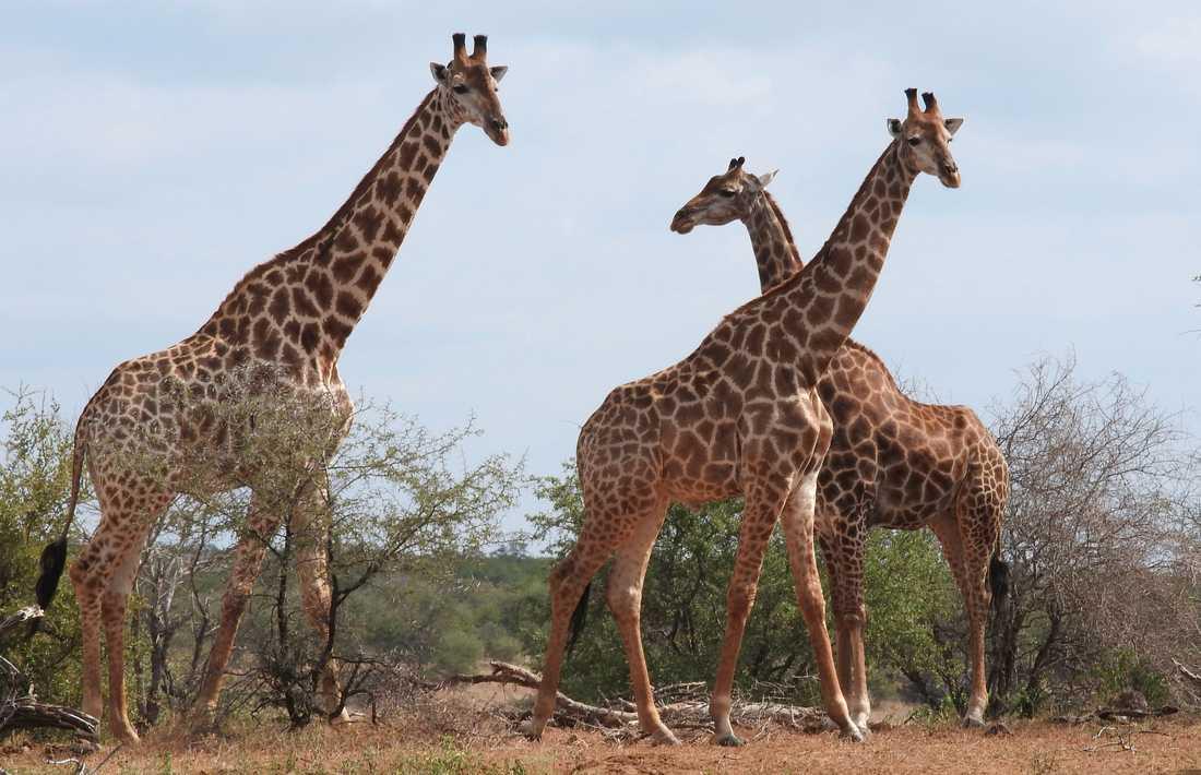 De båda rymningsbenägna girafferna hade importerats från Afrika. Arkivbild från Sydafrika – djuren på bilden har inte direkt med notisen att göra.