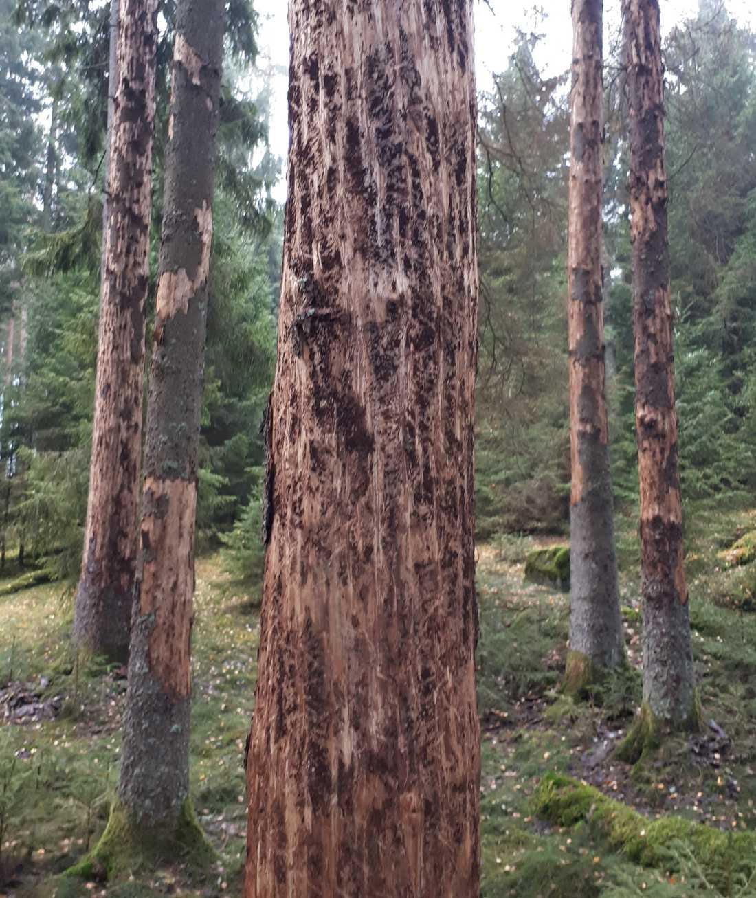 Träd angripna av granbarkborre i Götaland. Skogsstyrelsen uppmanar nu alla skogsägare att se över sina skogar och leta efter angrepp.