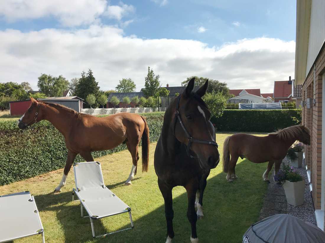 Sven-Erik och Sonja Rasmusson i Klagshamn vaknade av att det stod tre okända hästar i deras trädgård