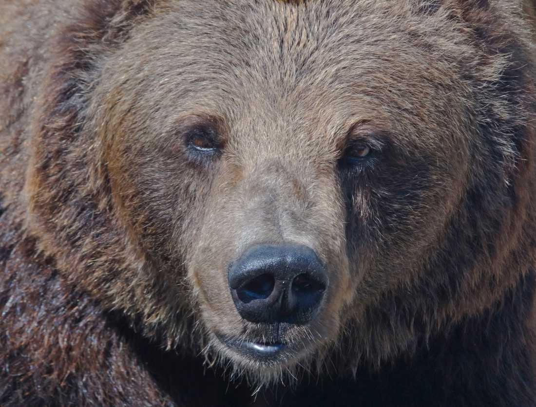 Björnen tros ha blivit skadskjuten och därför gått till attack. Arkivbild.