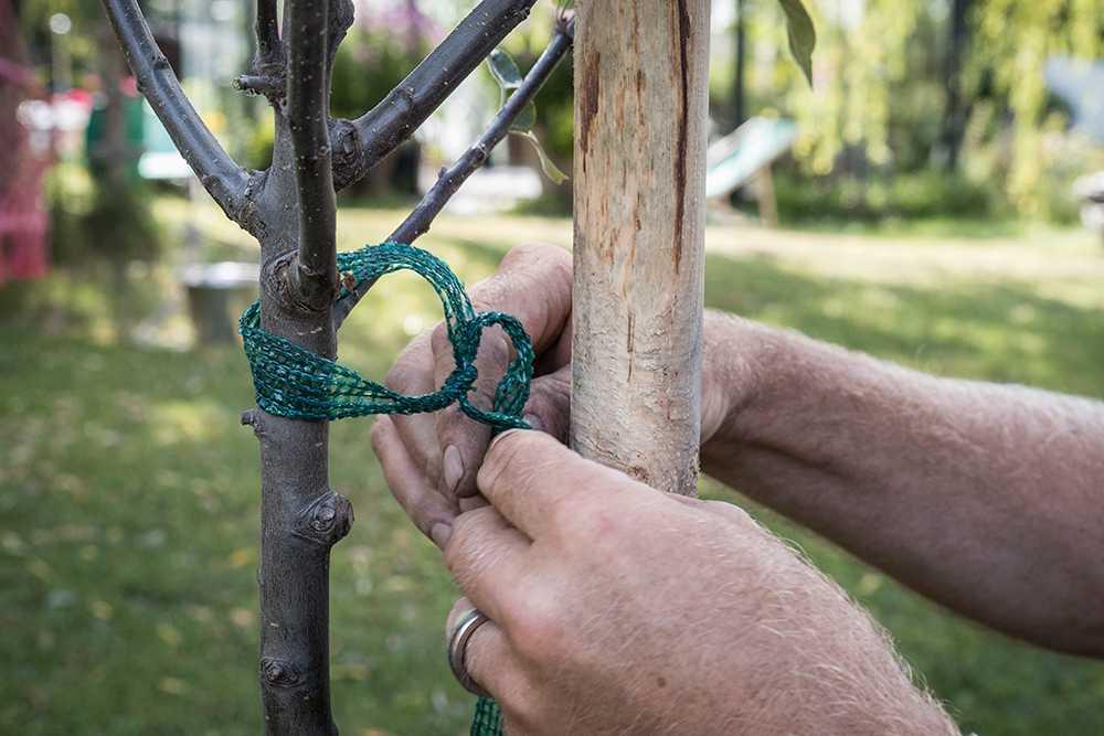 En stödkäpp på den sida som det blåser mest ifrån. Knyt en lös ögla runt trädet.