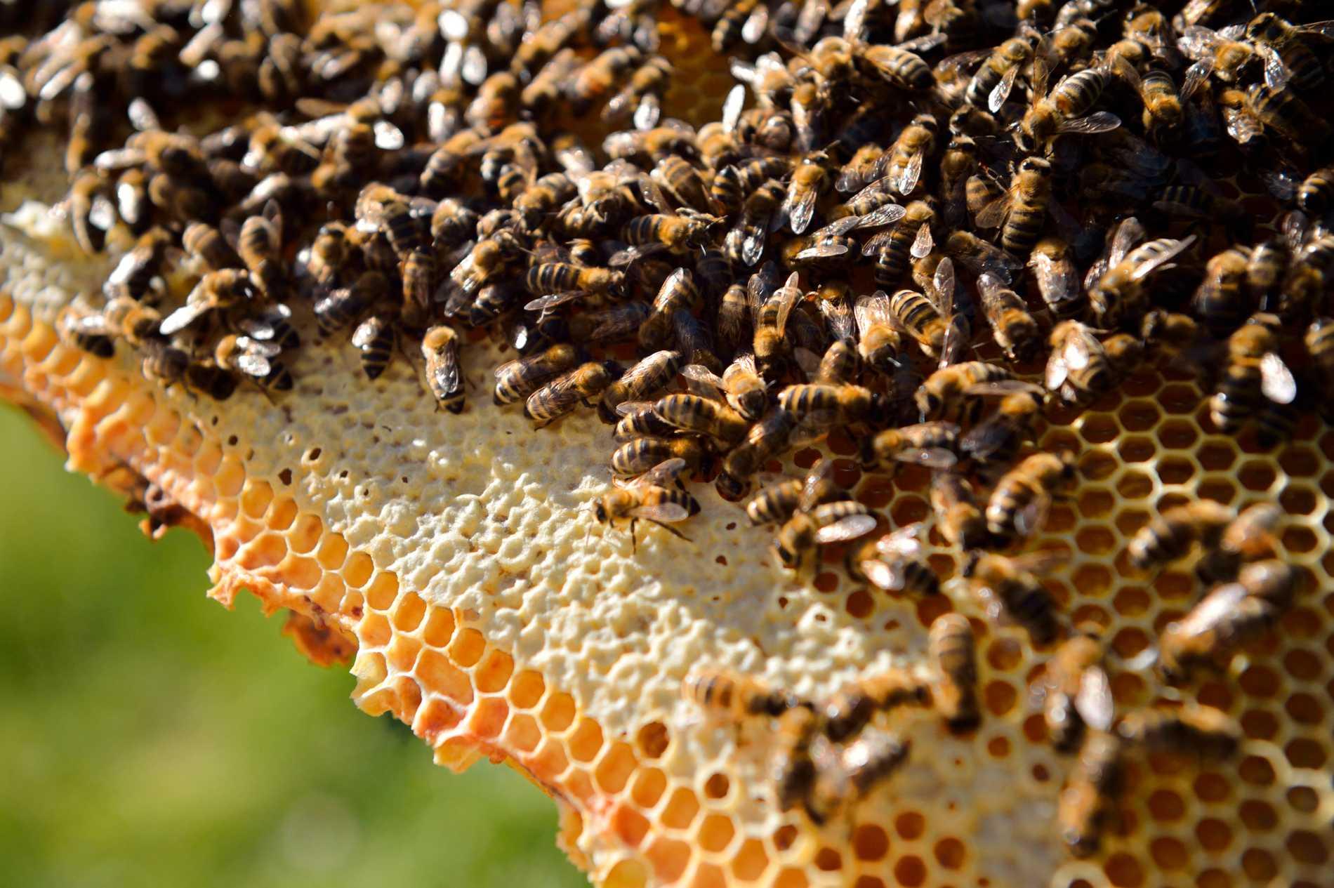 Honungsbin kan lära sig addition och subtraktion, enligt en ny australisk rapport. Arkivbild.