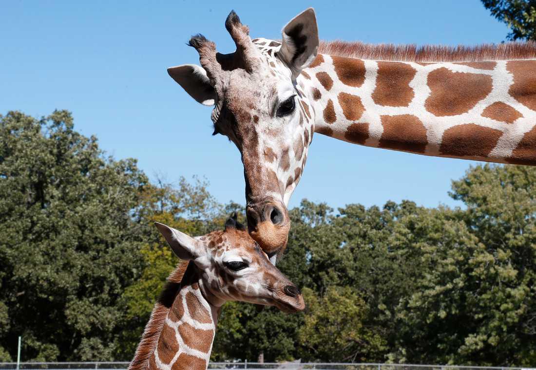 Ett internationellt möte i Genève i Schweiz om skyddet av djurarter har uttalat stöd för hårdare regler kring handeln med giraffer och delar av djuren. Arkivbild.
