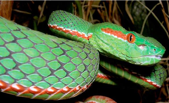 Gröna ormen Trimeresurus gumprechti upptäcktes i Thailand 20002. Den kan bli 130 centimeter lång men forskare tror att det finns större varianter. Honorna blir större och har gula ögon. Hannarna har ett rött streck på huvudet och har röda ögon.