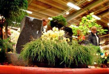 Barrväxterna kan formas efter miljön i trädgården. Här en kryptomeria.
