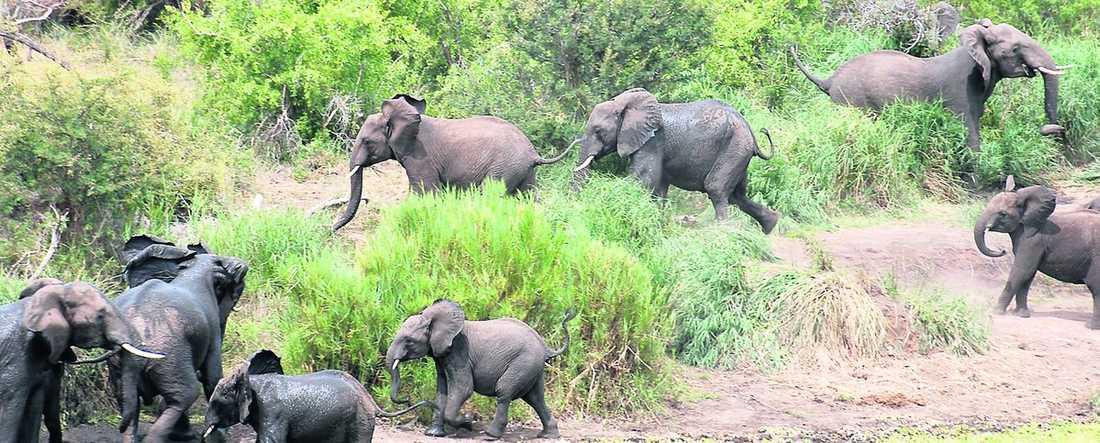 Panik bryter ut i hela flocken och de äldre elefanterna rusar till ungens räddning.