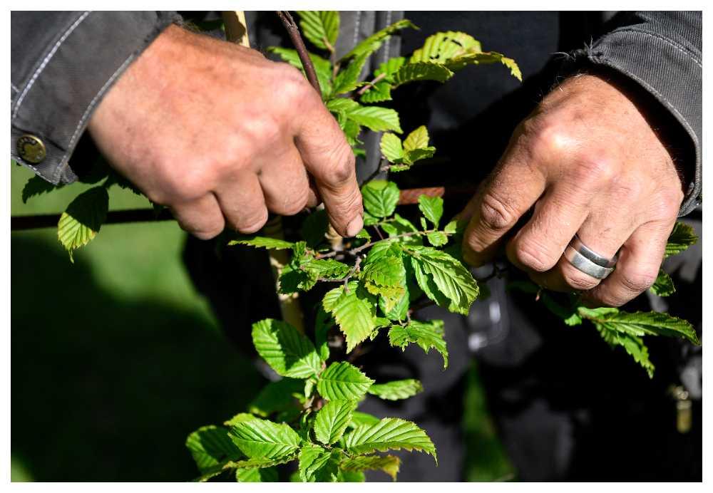 Klipp in grenarna så de är cirka 1 decimeter långa första året.
