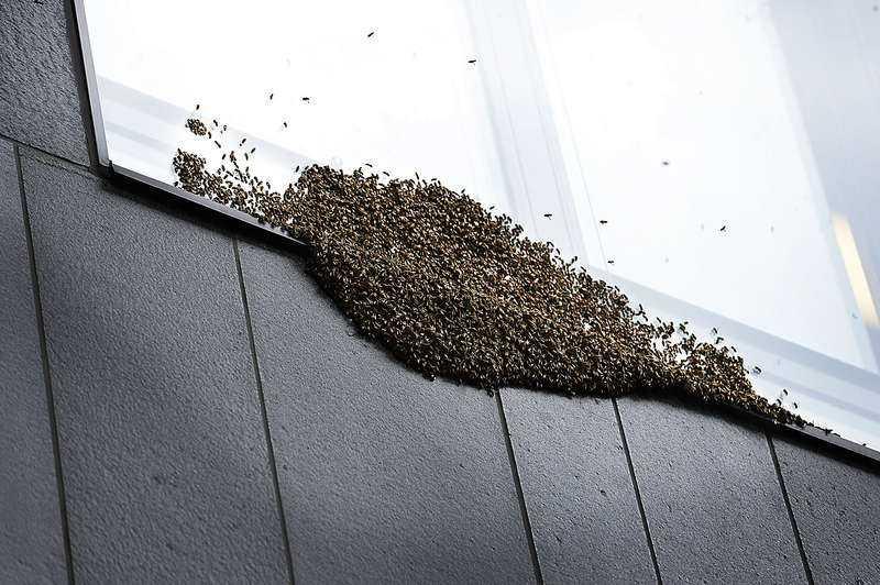 Svärmade i City En stor bisvärm på mellan 4 000 och 7 000 bin upptäcktes i går av förbipasserande där de satt sig utanpå H&M:s huvudkontor på Mäster Samuelsgatan.