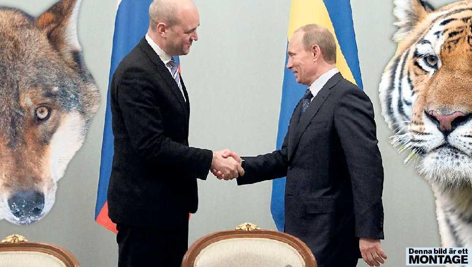 lär av ryssarna I dagarna kommer Vladimir Putin att diskutera hur vi ska rädda de utrotningshotade tigrarna. Det är annat i jämförelse med Fredrik Reinfeldt. Han vill ha licensjakt på varg.