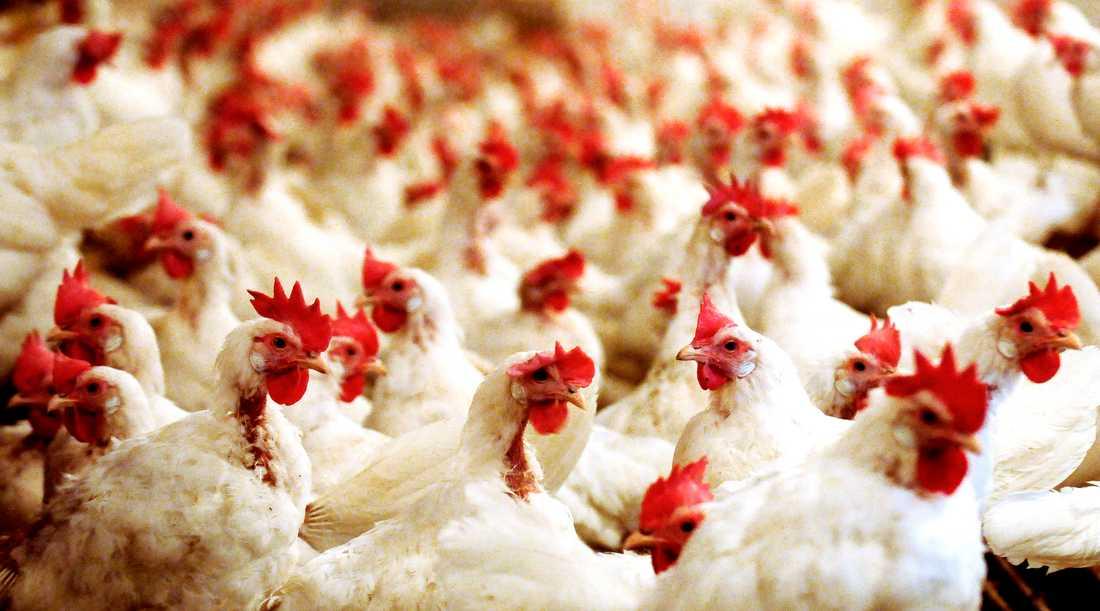 Fågelinfluensan har slagit hårt mot Sveriges höns i år. Arkivbild.