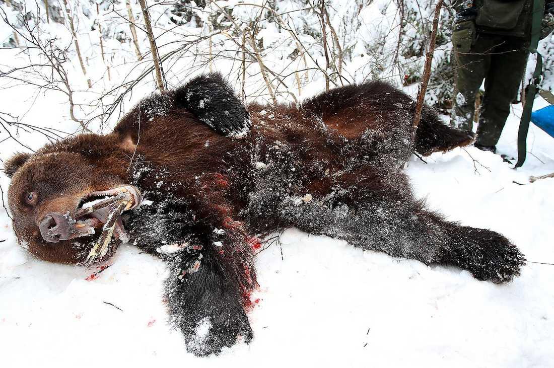 SKÖTS I FÖRRGÅR Den 200 kg tunga björnhanne som attackerade jägaren dödades av länsstyrelsens specialjaktlag.