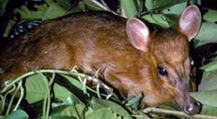 Världens minsta Världens minsta hjortdjur, minimuntjaken hittades i norra Myanmar. Den blir runt 70 centimeter hög och väger cirka 10 kilo.