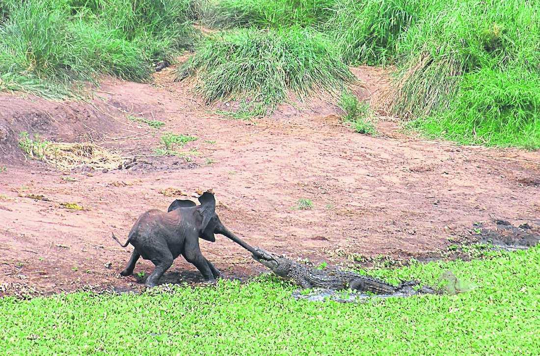 skriker av skräck När elefantungen lämnas ensam dyker krokodilen upp ur vattnet och hugger. Den lilla elefanten skriker av skräck och försöker dra sig loss.