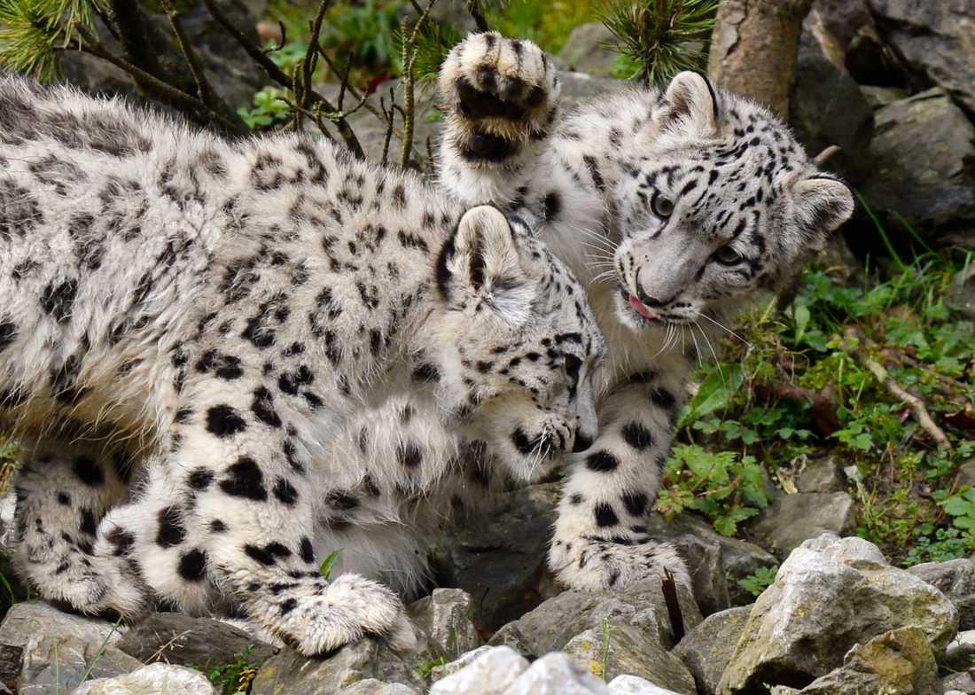 Det finns omkring 4000 vilda snöleoparder enligt WWF. Tvillingdjuren på bilden bor i djurpark. Arkivbild.