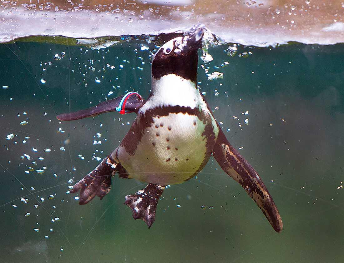 Pingvin. Genrebild.