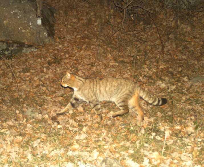 En europeisk vildkatt (Felis silvestris) som fångats på bild med hjälp av en kamerafälla i det katalanska forskningsprojektet.