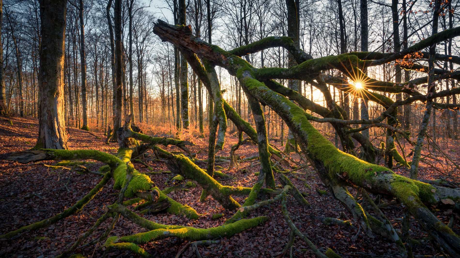 Kvänsås är en av de högst och nordligast belägna bokskogarna i Sverige.