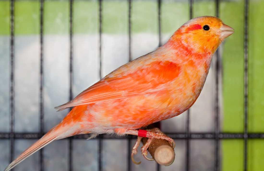 En man stoppades i tullen efter att ha försökt smuggla in 48 kanariefåglar från Danmark. En timme senare försökte mannen igen.