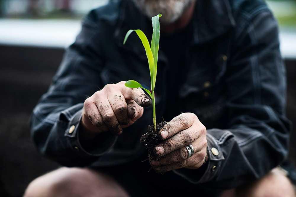 Så här djupt ska i stort sett alla plantor sättas.