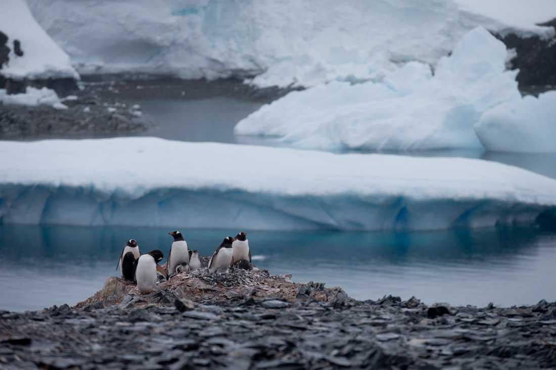 Pingviner nära en chilensk forskningsstation på Antarktiska halvön, där nya värmerekord har noterats. Arkivbild