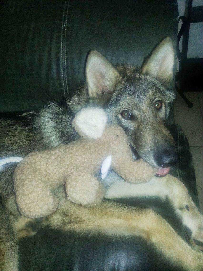 Neo var dock inte en vanlig hund – efter ett tag uppdagades det att han var en korsning mellan en hund och en varg.