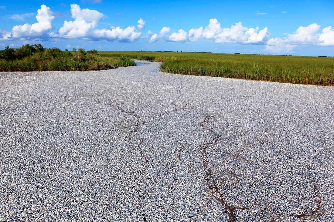 Det ser ut som en väg, men det är hundratusentals döda fiskar som har hittats i vattnet utanför Louisiana.