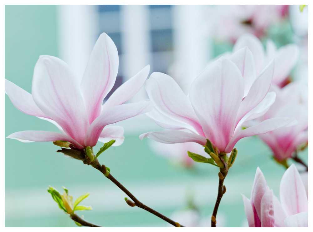 Drömmer du om en egen magnolia? Så här lyckas du med planteringen.