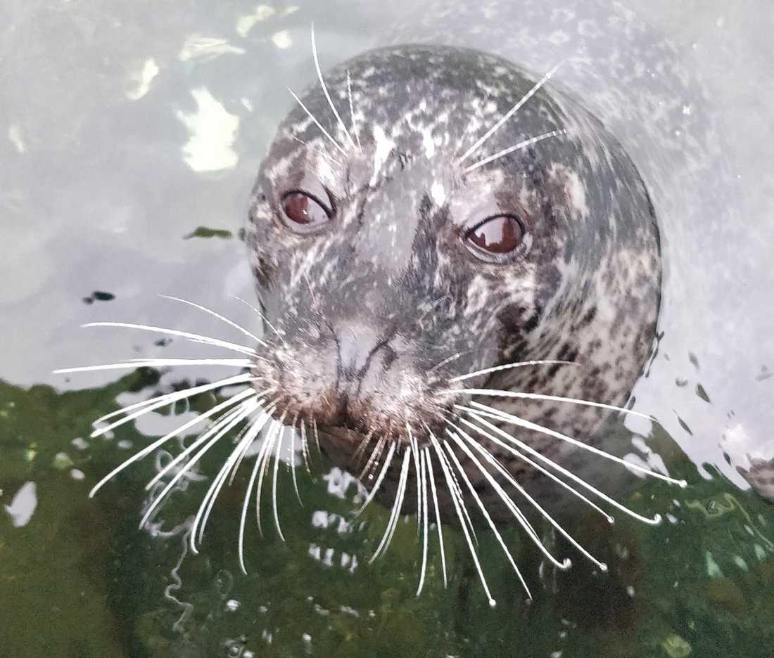 Sälen Sally simmade in i fiskaffären i Hunnebostrand.