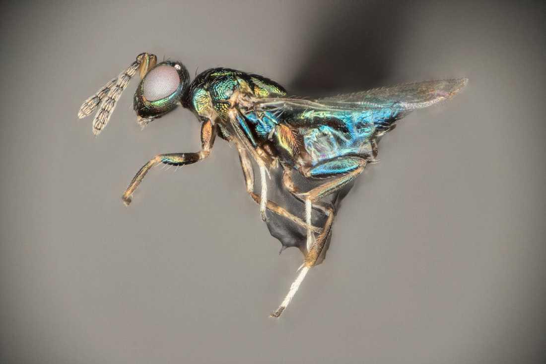 Parasitsteklarna tros nu vara den artrikaste gruppen bland insekterna. Nya arter upptäcks i rask takt. En av dessa är Euderes set som uppkallats efter Set, ondskans gud i det gamla Egypten.