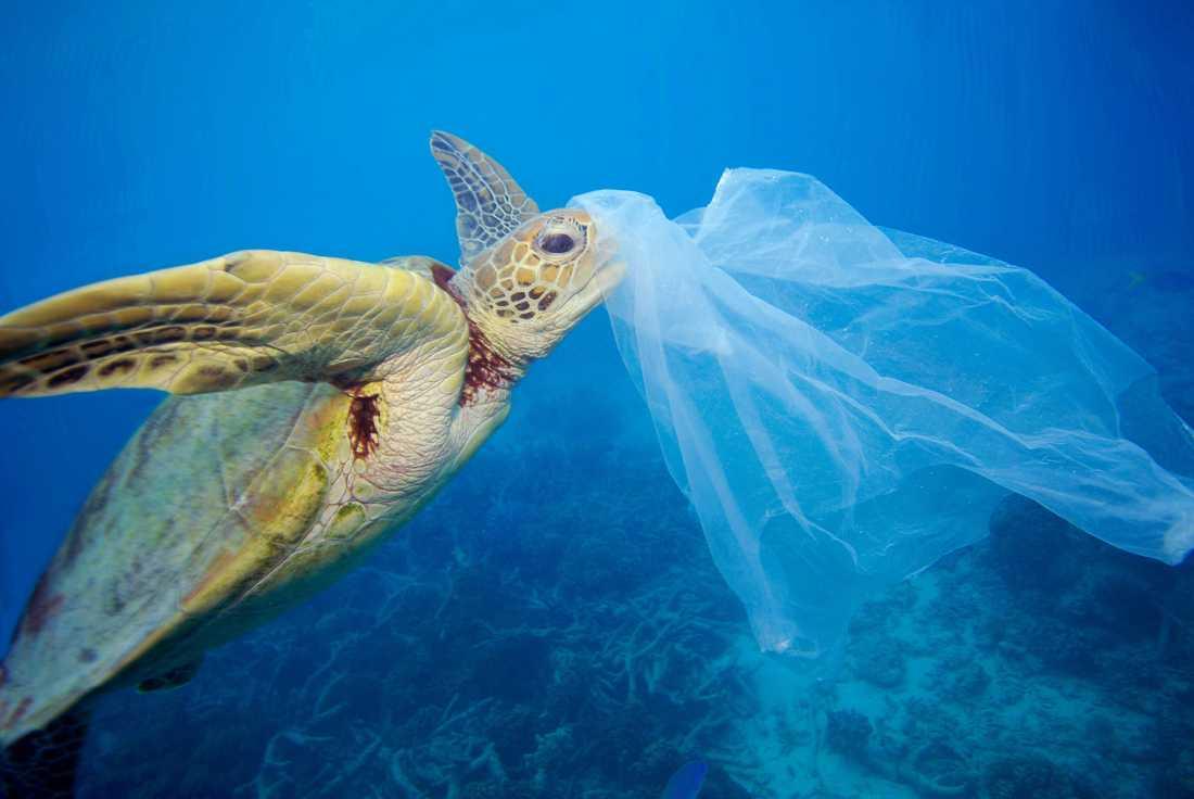 En grön havssköldpadda som har fastnat i plastskräp. Arkivbild.