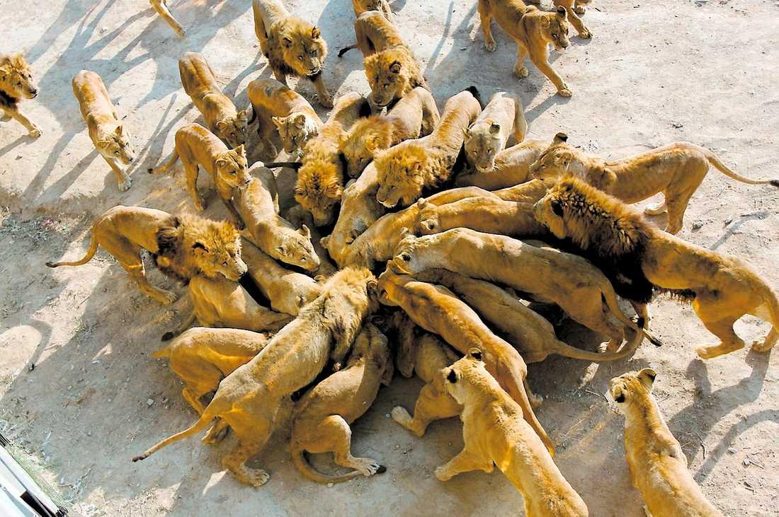När geten landat kastar sig lejonen över djuret. Efter några minuter återstår bara benrester.