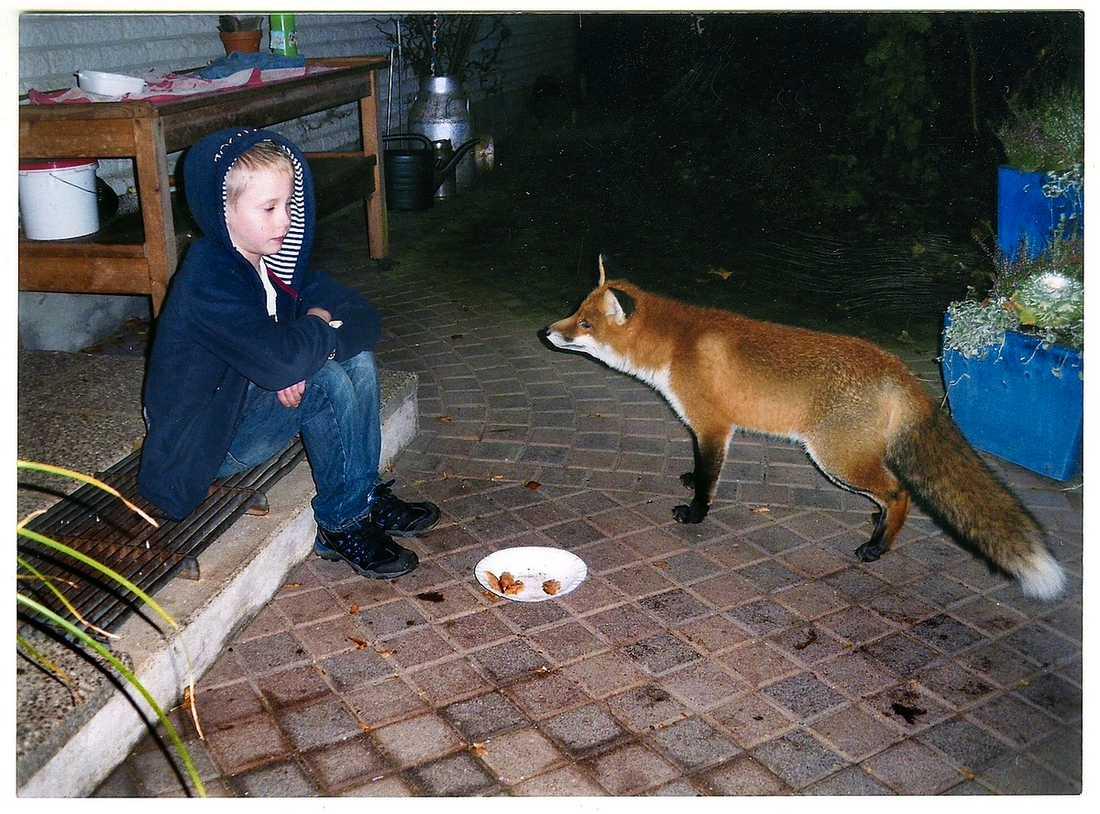 """kan du inte tala? Här sitter sexårige Noah Mattsson öga mot öga med den vilda räven Ralf – som ser ut att tacka för middagen. """"Ralf var så jättesöt så nu har jag plötsligt börjat gilla rävar jättemycket"""", berättar Noah."""