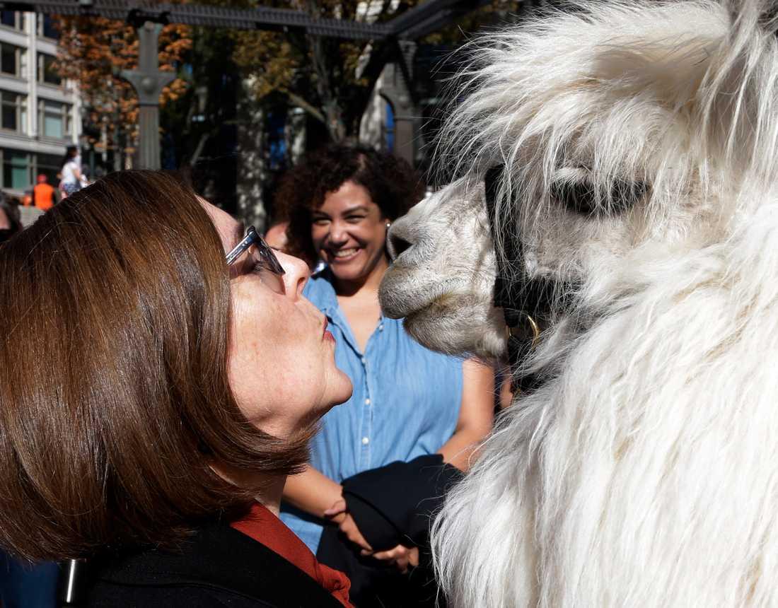"""Oregons demokratiska guvernör, Kate Brown, är nära att ge Caesar """"The no drama lama"""" en puss under en demonstration i Portland 2018."""