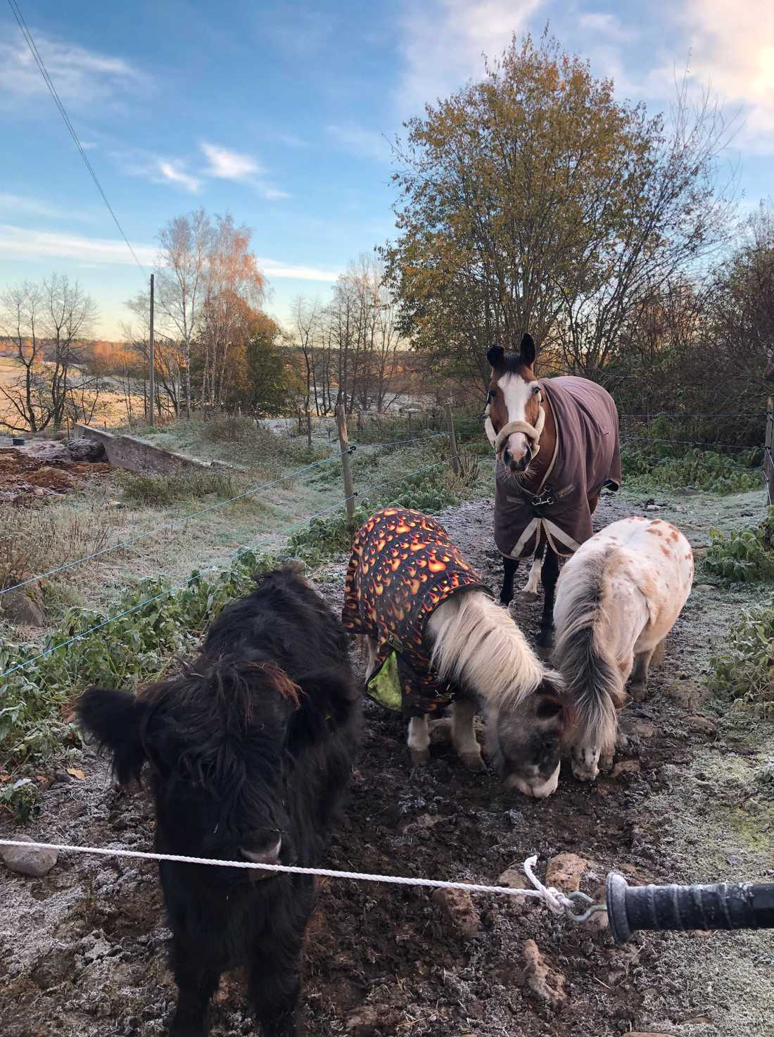 Kalven Sigge hänger med två ponnys och en större häst i hagen.