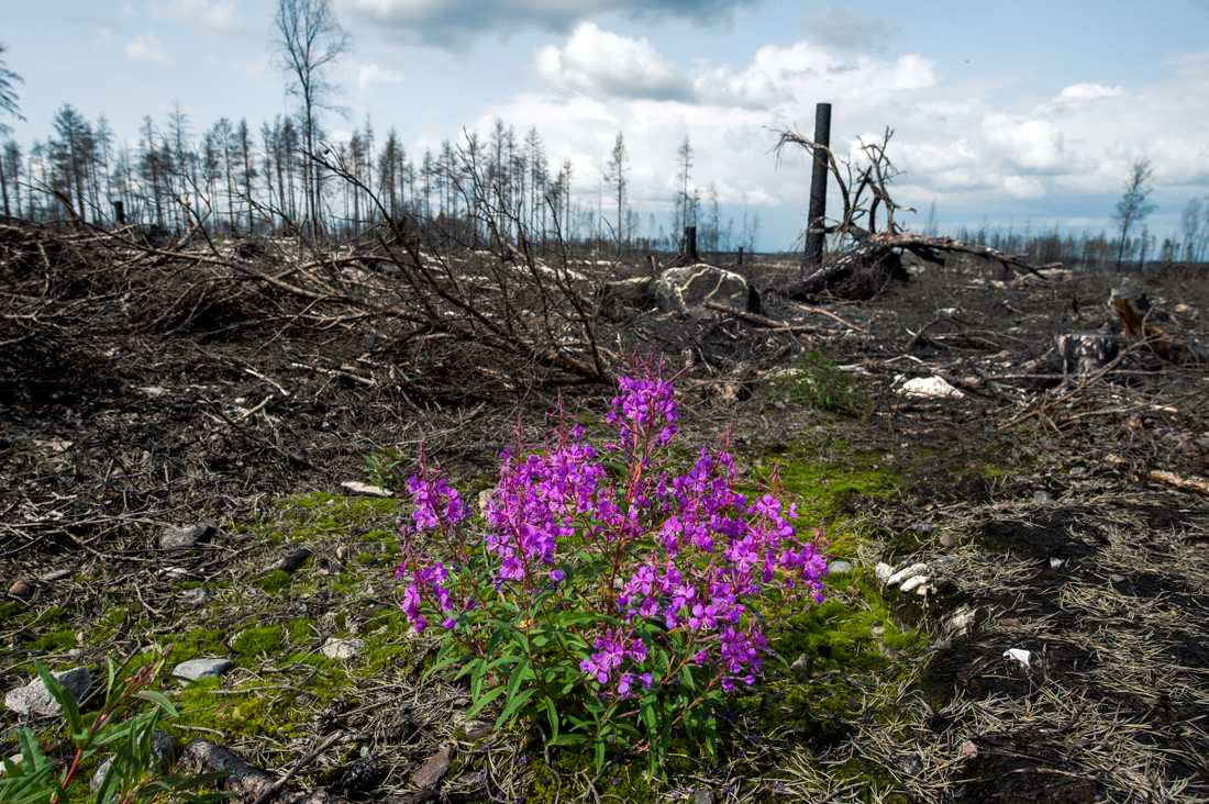 Sörhörende, ett år efter skogsbranden i Västmanland 2014. Ett färskt avgörande från HD kan få stor betydelse för de skogsägare som söker ersättning för skador som uppkom i samband med branden.