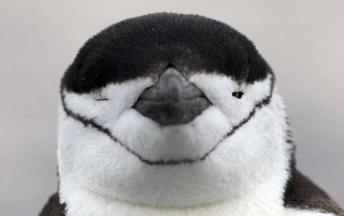Hakremspingvinerna minskar i antal i Antarktis, uppger forskare. Arkivbild.