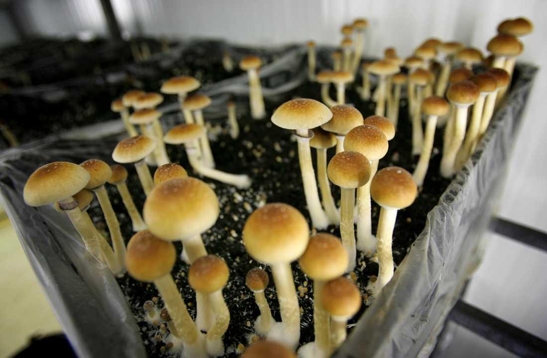 På bilden syns hallucinogena svampar som odlas i Nederländerna. Arkivbild.