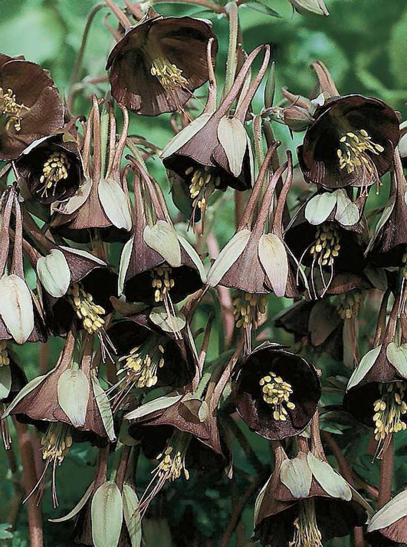 'Chocolate Soldier', Aquilegia viridiflora. Visst ser de lite ut som soldater? Eller kanske snarare rep-gubbar, lite stökiga och ouppmärksamma. Läckert kamouflagefärgade, i grönt och brunt. Dessutom doftar de! (www.froer.nu)