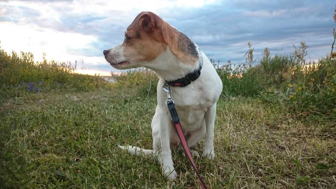 Inga svenska hundar har drabbats av den norska smittan. Arkivbild.
