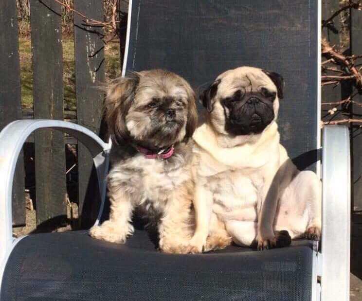 Lady och Wilma är Gosans hundkompisar.