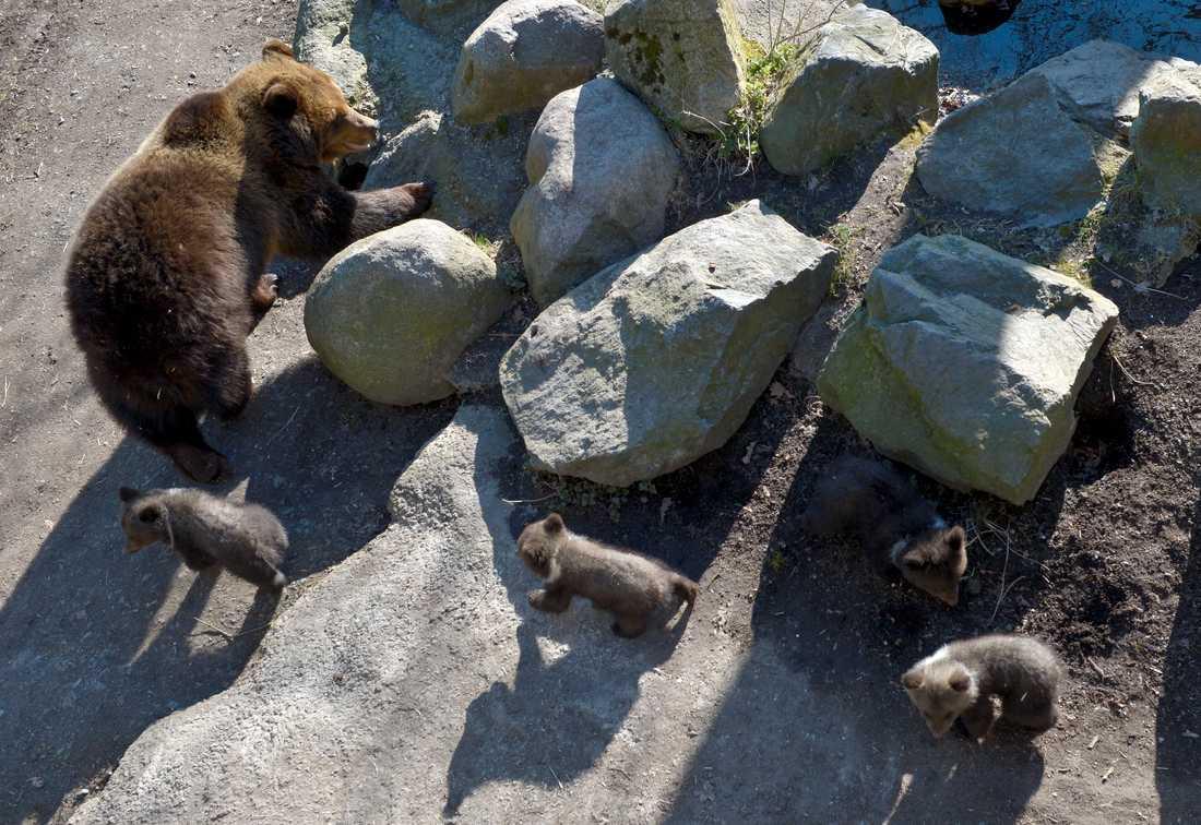 Så här såg det ut när björnhonan Lill-Babs lämnade idet med sina ungar 2016.