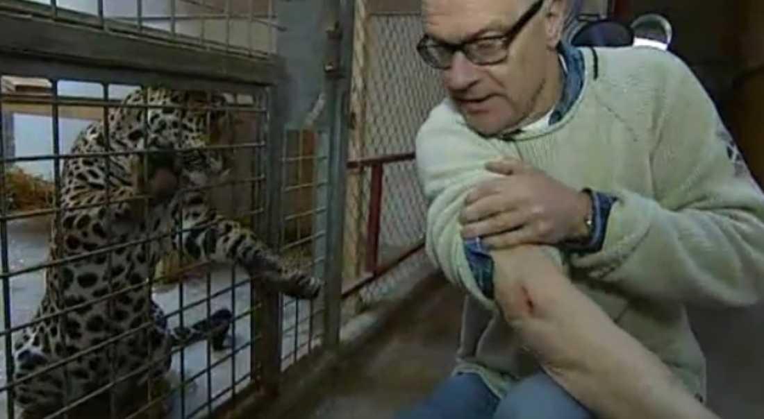 """SÅRET I inslaget i """"Nyhetsmorgon"""" visar Lennart Modig upp ärret efter attacken från jaguarhonan Yupola."""
