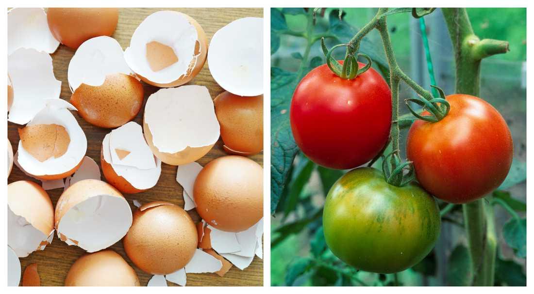 Tomater älskar kalciumet som äggskalen tillför.