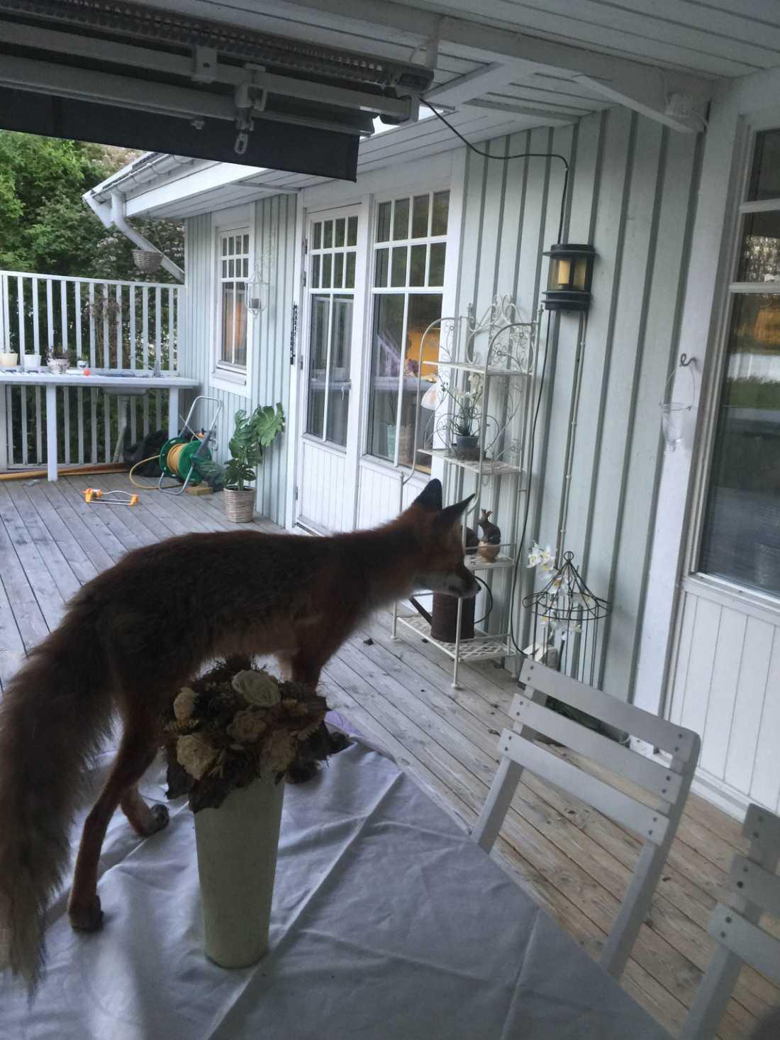 Enligt Cecilia var räven totalt orädd och snarare lite kaxig.